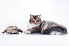 Tabby cat with a turtle on a white background. Cute tabby kitten more fluffy good cat Royalty Free Stock Photos