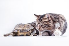 Tabby cat with a turtle on a white background Royalty Free Stock Photography