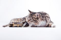 Tabby cat with a turtle on a white background Stock Photography