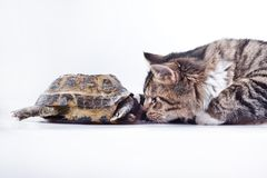 Tabby cat with a turtle on a white background. Cute tabby kitten more fluffy good cat Stock Photos