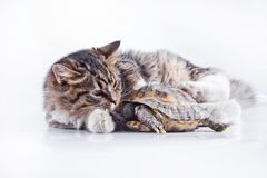 Tabby cat with a turtle on a white background Royalty Free Stock Image