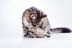 Tabby cat with a turtle on a white background. Cute tabby kitten more fluffy good cat Royalty Free Stock Images