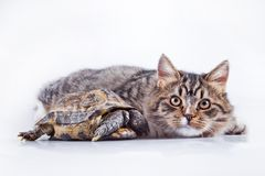 Tabby cat with a turtle on a white background. Cute tabby kitten more fluffy good cat Royalty Free Stock Image