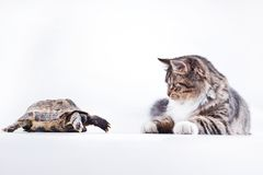 Tabby cat with a turtle on a white background. Cute tabby kitten more fluffy good cat Stock Image