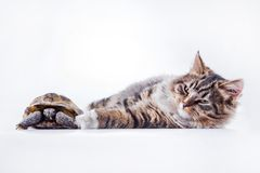 Tabby cat with a turtle on a white background Stock Photo
