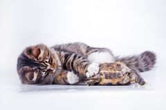 Tabby cat with a turtle on a white background. Cute tabby kitten more fluffy good cat Stock Photography