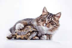Tabby cat with a turtle on a white background. Cute tabby kitten more fluffy good cat Royalty Free Stock Photo