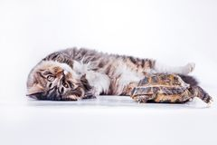 Tabby cat with a turtle on a white background. Cute tabby kitten more fluffy good cat Royalty Free Stock Photography