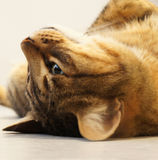 Tabby cat upside down Stock Images