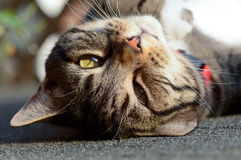 Tabby cat upside down portrait Royalty Free Stock Image