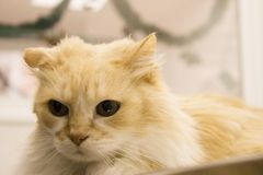 Tabby cat at the veterinarian office. Long haired cat on the table of the veterinary clinic royalty free stock photography