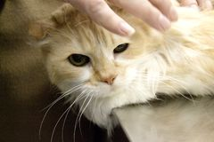 Tabby cat at the veterinarian office. Long haired cat on the table of the veterinary clinic royalty free stock images