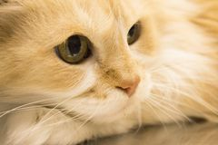 Tabby cat at the veterinarian office. Long haired cat on the table of the veterinary clinic stock photo