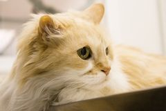 Tabby cat at the veterinarian office. Long haired cat on the table of the veterinary clinic stock photography
