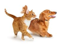 Tabby Cat Walking alaranjada a tomar partido Paw Extended fotografia de stock royalty free