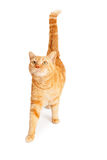 Tabby Cat Walking anaranjada imagen de archivo