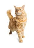 Tabby Cat Walking Forward Looking Side alaranjada Imagens de Stock