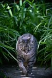 Tabby cat walking in the garden. Wild tabby cat walking in a lush garden full of plants. Photographed at noon in a summer day, the cat looks and acts like a stock photos