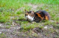 Cat in green field. Tabby cat is walking in green field Royalty Free Stock Photo