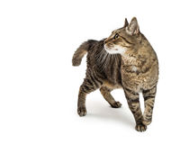 Tabby Cat Walking Looking Side Stock Images