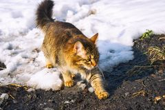 Tabby cat walking through the snow and soil. Stock Photography
