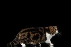 Tabby Cat Walks exótica no espelho, fundo preto isolado imagem de stock royalty free