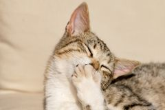 Tabby cat washing paws and fur in sunshine royalty free stock images