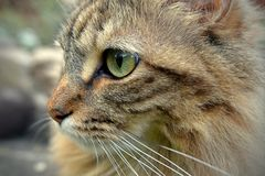 TABBY CAT WATCHING BIRDS. Royalty Free Stock Photo