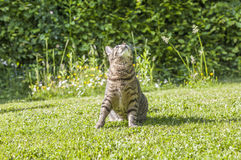 Tabby cat is watching birds Royalty Free Stock Images