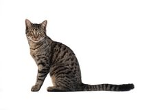 Tabby Cat on White. A tabby cat sitting on white Royalty Free Stock Images