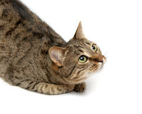Tabby cat on white. Tabby cat lying on white background royalty free stock photography