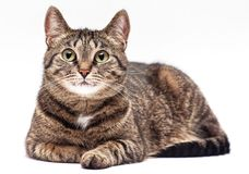 Tabby cat on white background. Stock Image