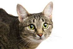 Tabby cat royalty free stock image