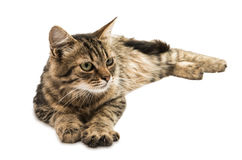 Tabby cat. On a white background stock photography