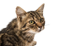 Tabby cat. On a white background stock photo