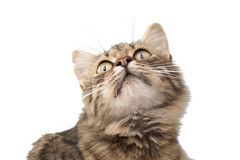 Tabby cat. On a white background royalty free stock photos