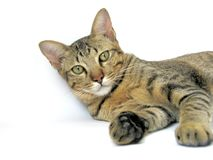 Tabby cat on white background. Tabby brown cat lie on white background and bend his head up to look forward stock images