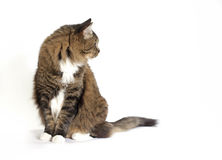 Tabby Cat White Background Stock Photos