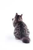 Tabby cat on a white background Royalty Free Stock Photo