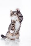 Tabby cat on a white background Royalty Free Stock Images