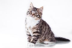 Tabby cat on a white background Stock Images