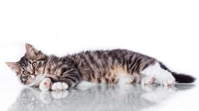 Tabby cat on a white background Stock Image