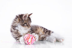 Tabby cat on a white background Stock Photography