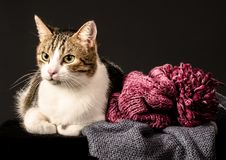 Tabby cat with white breast on a black background next to a blue. Winter knitted scarf and a pink hat with a big pompon Stock Images