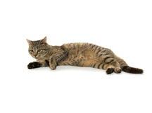 Tabby cat on white Stock Photos