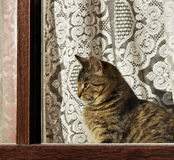 Tabby cat on windowsill. Royalty Free Stock Images