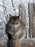 Tabby Cat with Winter Backdrop. A tabby-cat sitting on the top of a post, in a plank fence-line, with tree branches behind that are covered with hoar frost. The Stock Images