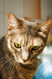 Tabby cat wistful look. This tabby cat is looking wistful downward Royalty Free Stock Photos