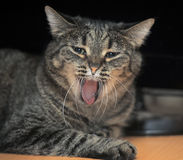 Tabby cat yawning Stock Photography