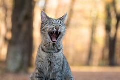 Tabby cat yawning. Funny tabby cat yawning and showing its teeth with fall color background Royalty Free Stock Photo